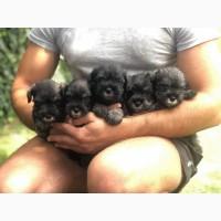 Мініатюрні щенята Шнауцера