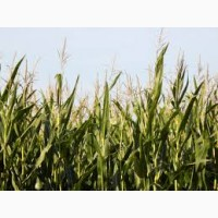 Гибрид Здобуток ФАО 290 семена кукурузы