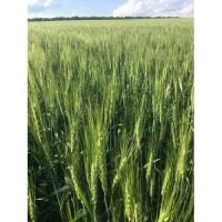 Насіння озимої пшениці Соломія