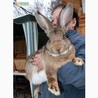 Продам домашних кролей акселератов разных пород