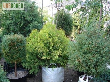 Хвойні декоративні рослини