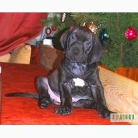 Продам щенков Фила бразилейро - бразльский мастиф. Редкая порода