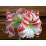 Продаю луковицы эксклюзивных цветов
