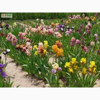 Ирисы и лилейники из сада цветов Трошкиных