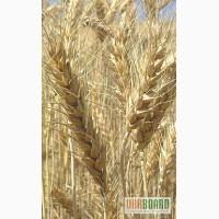 Насіння гречки, гороху, овса, ячменю, ярої пшениці