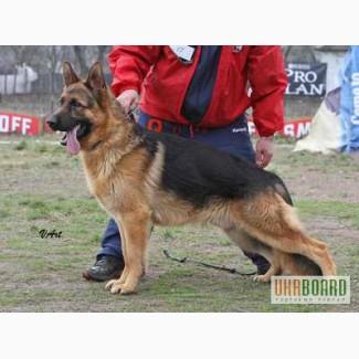 Немецкая овчарка (Высоко-породные щенки) Недорого