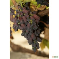 Саженцы ранних сортов винограда. Районированные сорта винограда.