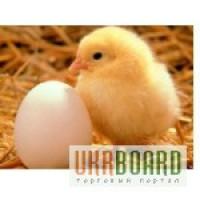 Продам яйцо инкубационное породы Адлер серебристый