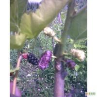 Шовковиця садова великоплідна з білими, фіолетовими, чорними плодами.