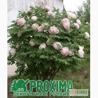 Пион древовидный по низким ценам в питомник декоративных растений Proxima