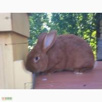 Продам кролика Новозеландский красный