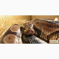 Змії: пітони, удави, анаконда