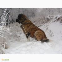 Шикарные щенки кавказской овчарки тёмного окраса