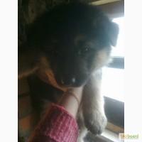 Продам щенков немецкой овчарки винницкая область
