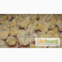 Продам суточных и подрощенных цыплят бройлеров Кобб-500, Росс-308