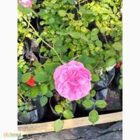 Продам розы в контейнере плетистые и почвопокровные