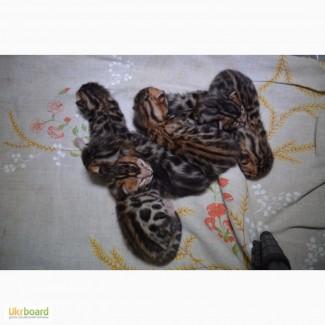 Бенгальскую кошечку (котенка) в разведение
