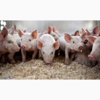 Свиньи, поросята, свиноматки продам