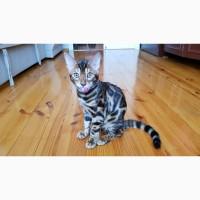 Бенгальская кошка. Купить бенгальского кота. Винница