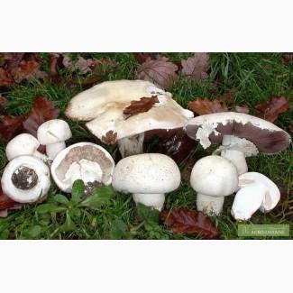 Грибница шампиньона, др. грибов: кольцевик, масленок, лисичка, подосиновик, вешенка
