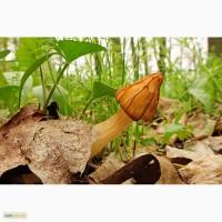 Грибница сморчков - семена грибов (мицелий) Сморчок полусвободный