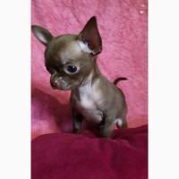 Шоколадный мальчик-мини породы чихуахуа