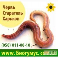 Червь Старатель купить в Харькове за 500 грн - для производства биогумуса