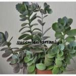 Продам суккуленты, кактусы
