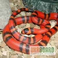 Продам Королевская змея кемпбела ( Lropeltis triangulum cbelli )