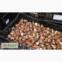 Продам луковицы тюльпанов на выгонку 12+ из Голандии