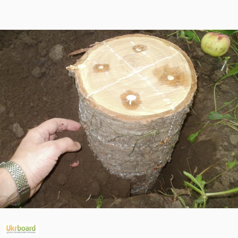 Выращивания грибов вешенки на пнях 319
