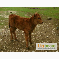 Продам теленка