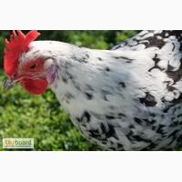 Яйця інкубаційні м ясо-яєчних курей Ред Бро та Мастер Грей Угорщина імпорт