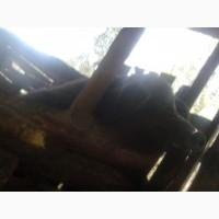 Продам кнура породи мангалиця пухова