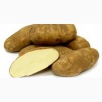 Картофель - ривьера распродаем оптом