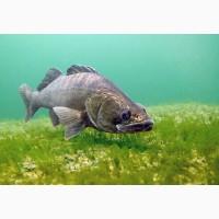 Хищная рыба лучший мелиоратор водоема