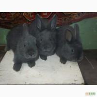 Продам кролика Венский голубой