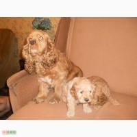Продам красивых щенков американского кокер-спаниеля