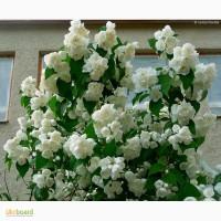 Продам ЧУБУШНИК махровый VIRGINAL (жасмин), спирея Бумальда(зонтичная)