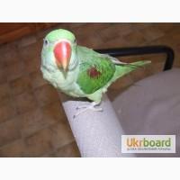 Александрийские попугаи ручные птенцы выкормыши