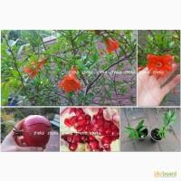 Гранат плодовый