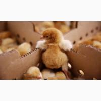 Гарна можливість придбати курчат породи Редбро