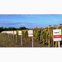 Гибриды подсолнечника Асприя Сиидз /Aspria Seeds с высокой устойчивостью к заразихе