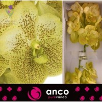 Orchid Vanda, Орхидея Ванда, ОПТ, Киев, Украина, Голландия