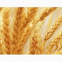 Постійно закуповуємо пшеницю