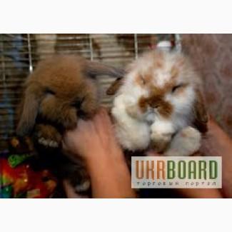 Кролик декоративный – нежный и ласковый зверёк