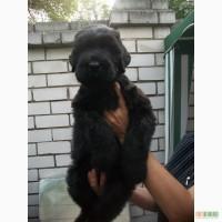 Русский Черный Терьер щенки