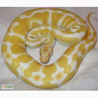 Продам питон королевский альбинос- Python regius albino
