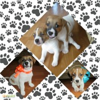 Продаются породистые щенки Джек Рассел Терьера (Jack Russell Terrier)