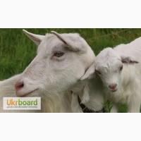 Продам козу и козлят, полтавской породы